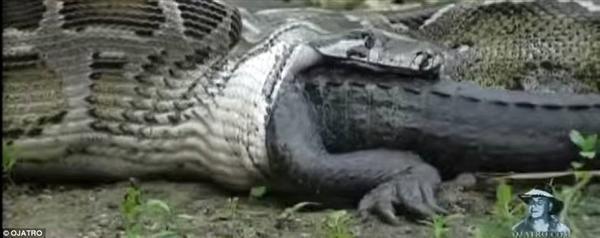 Windwing - Anaconda And Crocodile