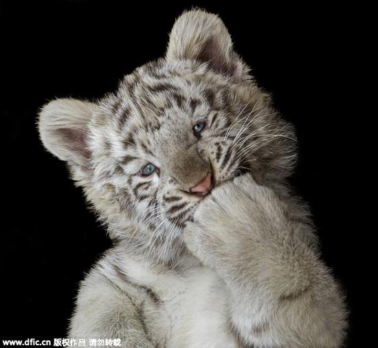 老虎在笑的图片