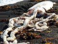 新西兰海滩现巨型鱿鱼 疑被更大生物杀死