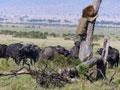 实拍雄狮被野牛群追赶逃树上