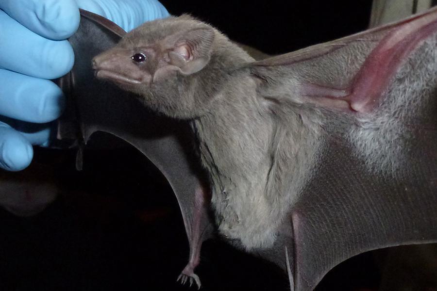 但最新的科学研究表明,蝙蝠才是MERS-CoV的终极源头宿主。一个国际研究小组在西氏墓蝠的粪便样本中,发现了一种似乎来自于上述病毒的微小基因片段,与首位人类患者的病毒完全相同。