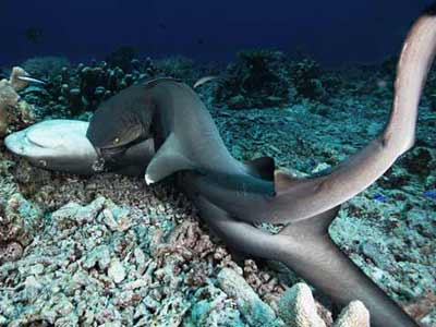 实拍公鲨咬住母鲨强行交配 过程粗鲁如强暴
