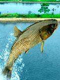 安徽一古村爱养长寿鱼 一条草鱼被养近50年