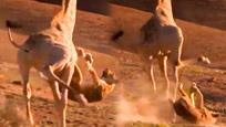 实拍狮子飞身扑杀长颈鹿被踹飞遭狂踩