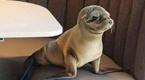 有爱!饥饿小海狮误闯餐馆意外获救