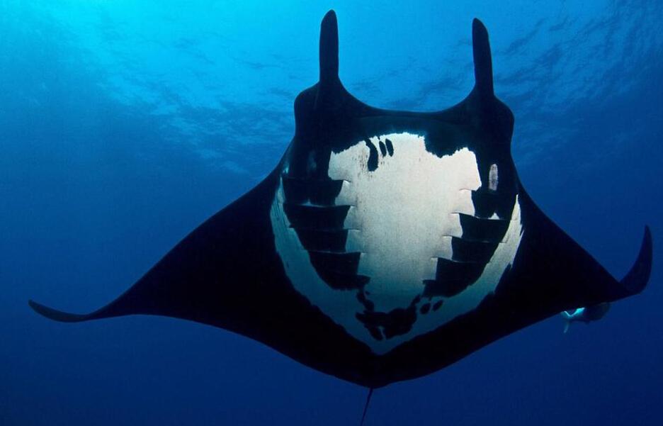 墨西哥海底发现罕见蝠鲼 黑白相间图案奇特