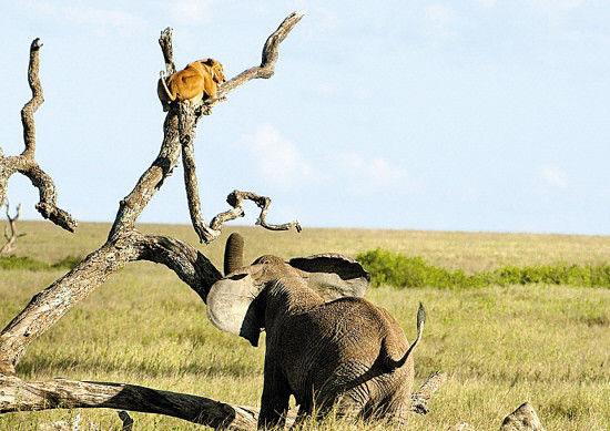 母狮误走进大象领地被追到树上 - 海阔山遥 - .