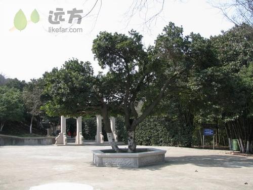 no.7/8 杨梅树王