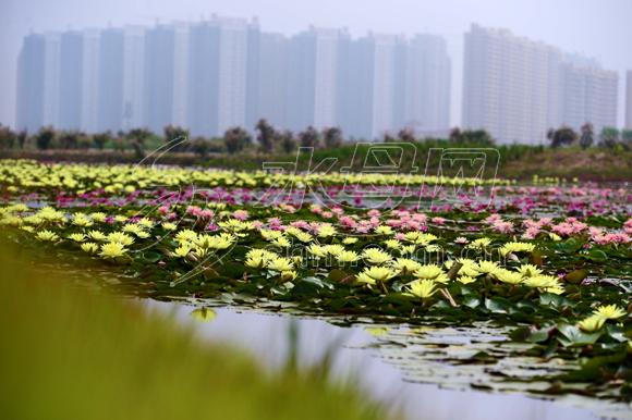 海阳河清岛植物园 水生睡莲竞相绽放