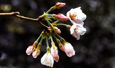 武汉大学春来也 樱花烂漫正当时