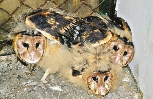 此系国家二级保护动物转交省野生动物救护中心