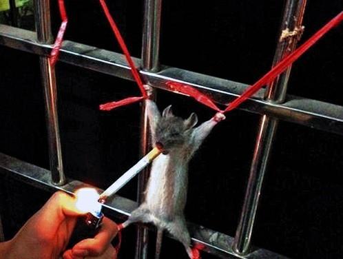 一只老鼠被绑在阳台上 图片 45k 498x376