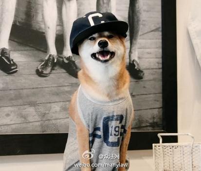 美柴犬代言多个品牌萌萌的 狗狗进军纽约时尚圈(图)