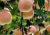 烟台苹果:中国果业第一品牌