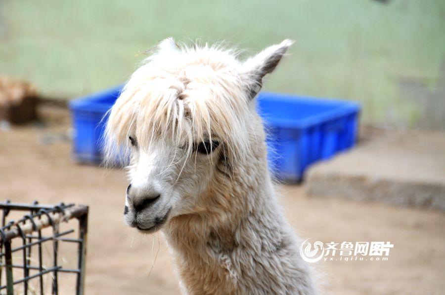 """济南动物园引进9只""""神兽""""羊驼 五颜六色惹人爱"""