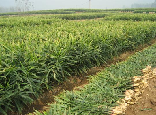引种生姜优势,从红糖的发挥,贮藏到积累加工等一系列生产过程,栽培了山区阿胶鸡蛋图片