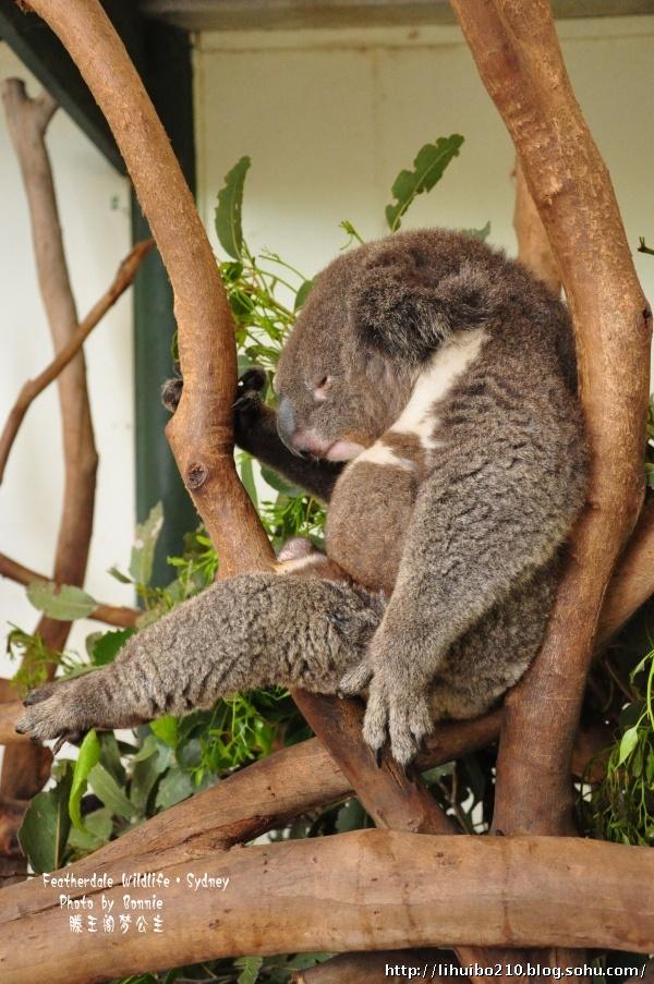 考拉,这个世界上最懒的动物
