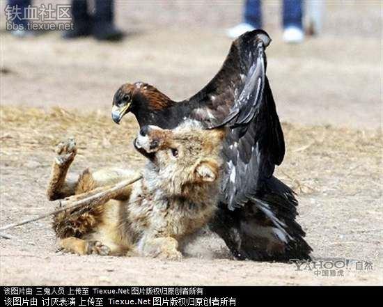 罕见的野狼与鹰犬惨烈搏斗(组图) - 月落台阁 - 月落台阁