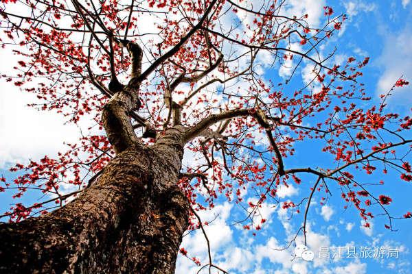 二月昌江木棉红,我在木棉树下等你.