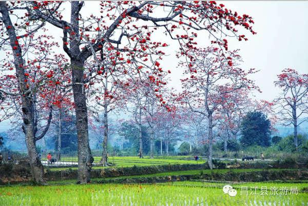 春天来了,木棉花下耕作,木棉,水牛,稻田…&hellip