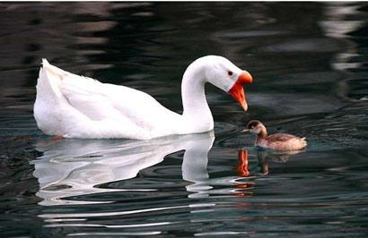 僧人为保护一只鹅遭毒打_没想到鹅以这种形式报恩