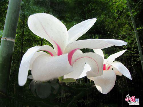 黄山木兰花香散放春的气息成早春迷人景观蹦极后的感想图片