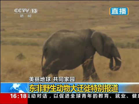 非洲象是马赛马拉旗舰性动物 油猪跪地吃草