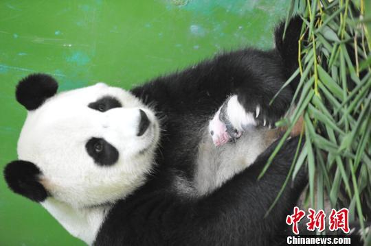 8月21日,记者探营华南地区首只大熊猫宝宝,虽然只出生22天尚未满月,这只熊猫宝宝已黑白分明、体型较出生时增加了4倍。 刘卫勇 摄 中新网广州8月21日电(王华 晓丹)8月21日,记者首次探营华南地区首只大熊猫宝宝,虽然只出生22天,这只熊猫宝宝已黑白分明、体型较出生时增加了4倍。 大熊猫妈妈梅清于7月31日凌晨00:55分在长隆野生动物世界顺利产下熊猫幼仔。这是在广东省出生的首只大熊猫,也是首只在华南地区诞生的大熊猫。 与刚出生时全身呈粉红色的小模样相比,这只熊猫宝宝如今形象大变,脑袋大了一圈,黑眼