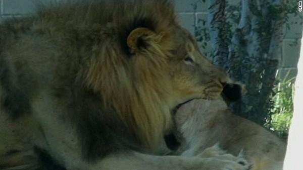 """美动物园上演惊悚一幕:雄狮""""暴走""""咬死母狮"""