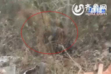 藏獒被大黄狗制服(视频截图)