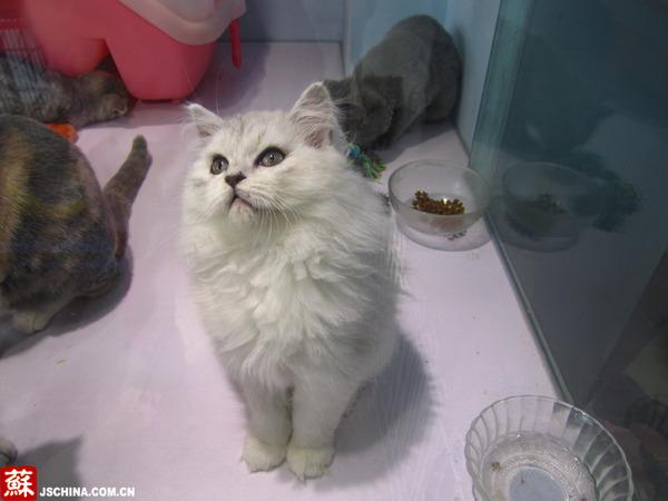 """这只还在幼年的小白猫名叫""""鳌拜"""",得名于雄狮一般的圈状颈毛."""