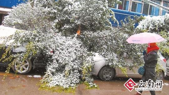 昆明遭遇强降雪 7棵树倒地近百棵树断枝