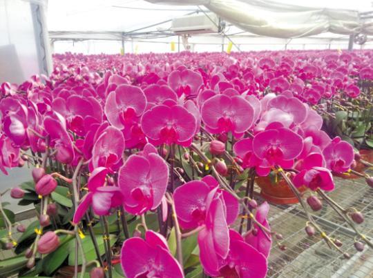 兰园里,低价位蝴蝶兰的销售情况火爆,大棚里的这批蝴蝶兰已经被