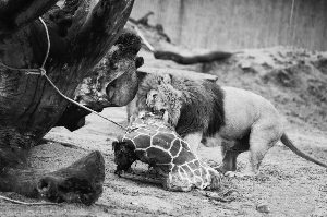 为禁止近亲繁殖丹麦动物园杀长颈鹿喂狮子全球