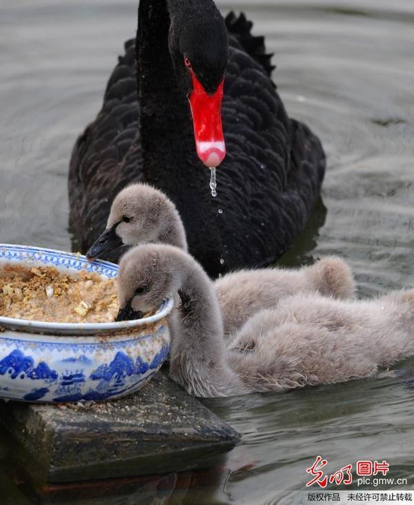 """2014年3月8日,北京圆明园,黑天鹅妈妈带着刚刚满月的小天鹅""""宝宝"""",吃"""