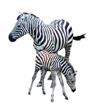 """""""食草动物一般出生后半小时内就能站立起来,这匹小斑马出生后特别活泼"""