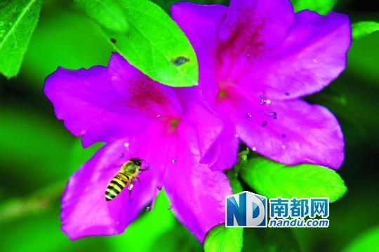 春天到了,洪湖公园内开满鲜花,蜜蜂忙着采蜜.