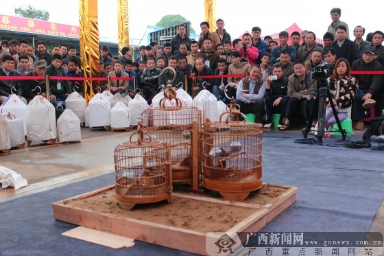 韩定宏/市民观看画眉鸟打斗比赛。广西新闻网记者韩定宏摄