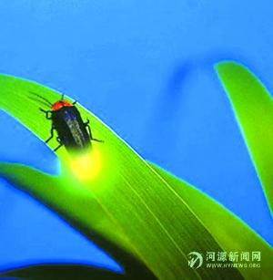 萤火虫发光之谜