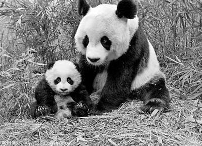 壁纸 大熊猫 动物 400_289
