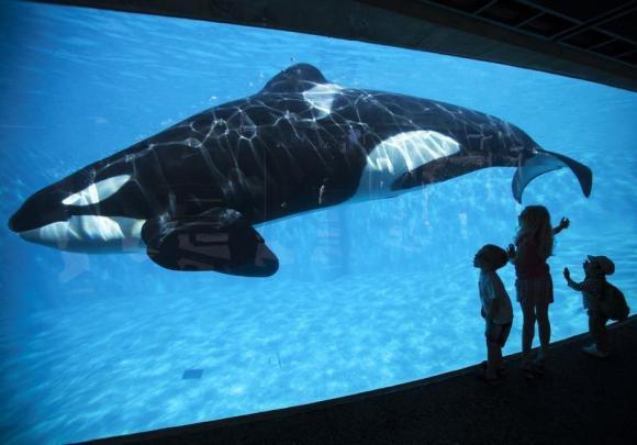 美国动物保护者请愿禁止虎鲸表演