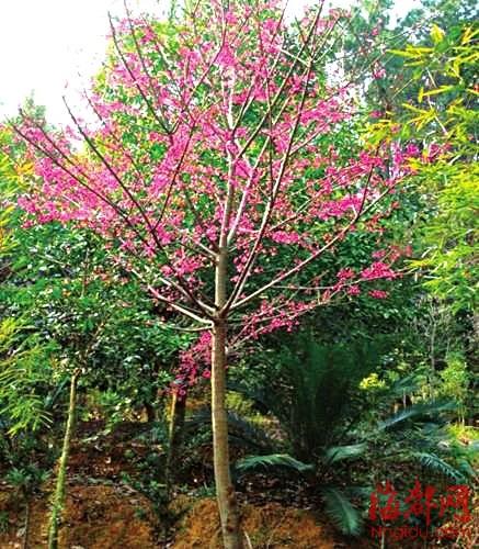 樱花树的画法步骤图解