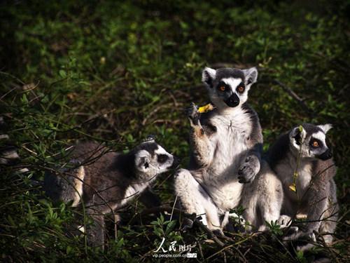 马达加斯加节尾狐猴