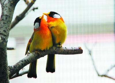 北京动物园里,两只红嘴相思鸟相亲相爱地依偎在一起.   董俊峰摄