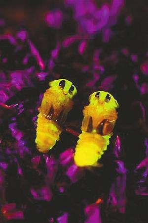 萤火虫的幼虫 为什么会发光