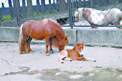 武汉动物园 首次繁殖珍珠马