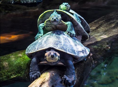 趣闻:乌龟排队过独木桥造成交通拥堵
