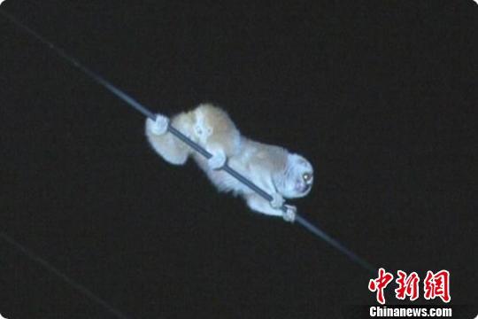 """蜂猴闯入浙江金华市区:长""""熊猫眼"""" 行动慢悠悠(图)"""