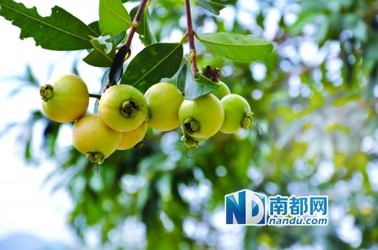 海滨温泉的蒲桃。 夏天是水果成熟的季节,在各地大大小小的果园里,各种水果已经陆续成熟,沉甸甸的果实挂在果树上,正等着人们来采摘。6月底,惠州本地的荔枝、葡萄、火龙果等都已经成熟待采,何不带上家人或者约上三五好友,去与这些可爱的水果来一次甜蜜的约会?本期旅游时代,我们就带你进行一次水果采摘之旅。文、摄影:伍世然 详见A10版