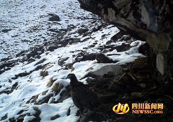 卧龙保护区拍到雪豹等珍稀野生动物